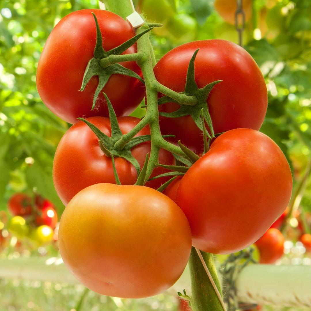 индетерминантные томаты купить семена